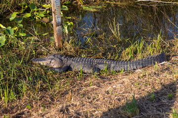 Wild Alligator laying on a sun on a green grass close to the river at beautiful sunny day with blue sky. Everglades National Park. Miami. Florida. USA