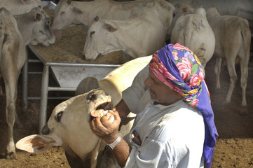 A LIVE STOCK SALES MAN SHOWES DISEAS FREE COWS AT A CATTLE MARKET IN DUBAI.