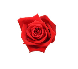 Natural red rose isolated on white background