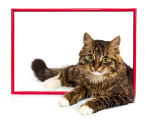 Young tabby cat lying in a red frame on a white background