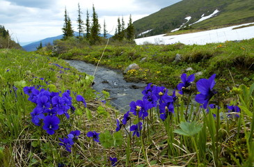 "Siberian flowers ""Zharki"" are seen with the Western Sayan mountains in in the background in southern ..."