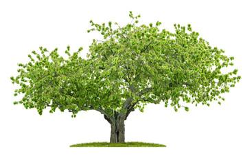 Alter Kirschbaum vor einem weißen Hintergrund