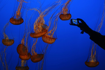 A visitor takes a picture of sea nettle jellyfish at an exhibit at the Monterey Bay Aquarium in Monterey