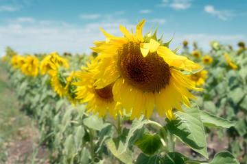 Flowering Sunflowers Wilting In The Heat