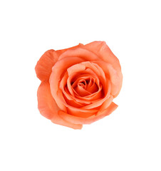 Beautiful Peach rose isolated on white background