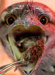 An Australian Tawny Frogmouth opens its mouth to receive a mouse from it's keeper during feeding ...
