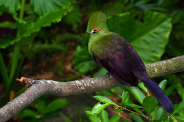 Guinea turaco sitting on a branch, also known by its scientific name Tauraco persa