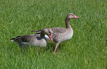 pair of geese in green grass