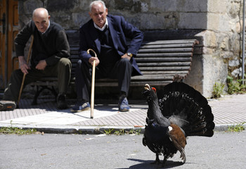 Men look at a male capercaillie as it strolls through the village of Tarna