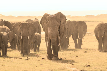 Herd of african elephants walking in savanna. African elephant societies are arranged around family units made up of around ten closely related females and their calves and is led by an older female.