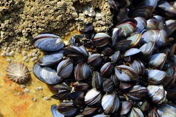 Moules, patelle et balanes accrochées à un rocher sur la côte bretonne