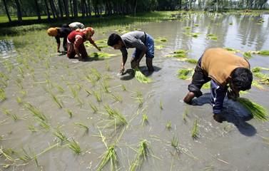 Kashmiri farmers plant rice crops in their field in Chak-e-Kawoosa