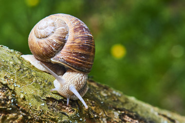 A common garden snail climbing on a stump. Snail balancing on the edge of the old stump.