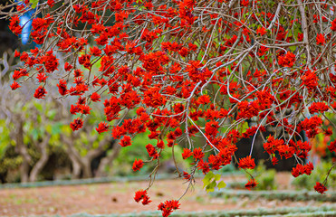 Coral tree blossoms with bright red flowers in the park