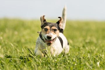 Hund rennt im hohen Gras auf der Wiese - Jack Russell Terrier