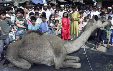 MUSLIMS LOOK AT A CAMEL BEFORE IT WAS SLAUGHTERED IN CALCUTTA.