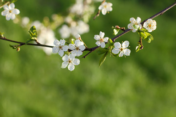 spring bloom of trees/branch with blossoming flowers and growing leaves