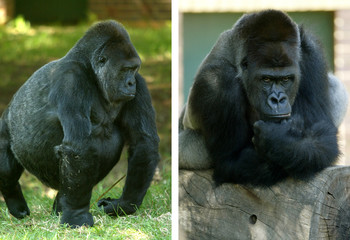Combo picture show silverback male gorilla Makoko and prospective mate Lisa on Valentine's Day ...