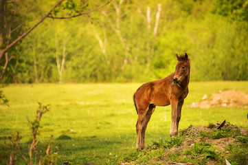 Young foal of a dark brown color looks into the camera and grazes on a green meadow against a background of a young forest in the rays of the setting sun