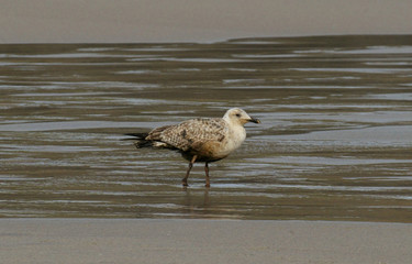 SEAGULL PARTIALLY IMPREGNATED WITH FUEL OIL WALKS ON BEACH IN MALPICA.