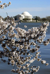 Cherry blossoms are in full bloom near the Jefferson Memorial (background) in Washington D.C. April ..