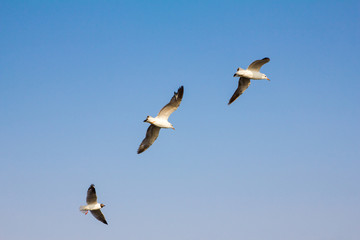 three seagull are flying on sky