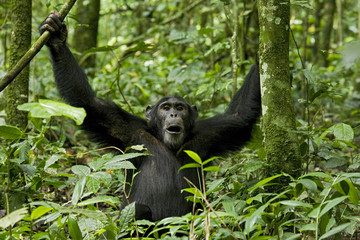 Africa, Uganda, Kibale National Park, Ngogo Chimpanzee Project. Although he appears to be in the middle of a pant hoot or yawn, the chimpanzee was making a series of playful facial expression.