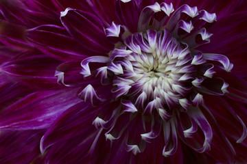 USA, Maine, Harpswell. Purple dahlia detail. Credit as: Kathleen Clemons / Jaynes Gallery / DanitaDelimont.com