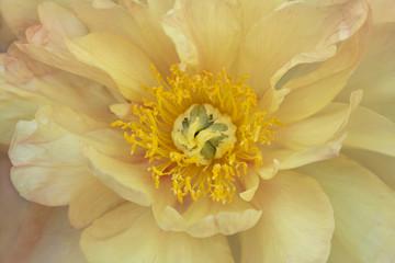 USA, Maine, Harpswell. Yellow peony. Credit as: Kathleen Clemons / Jaynes Gallery / DanitaDelimont.com