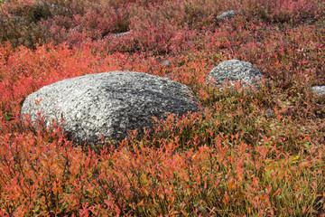 Autumn, blueberry barrens, granite rocks, East Orland, Maine, USA