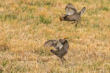 USA, Nebraska, Sand Hills. Male greater prairie chickens fighting. Credit as: Cathy & Gordon Illg / Jaynes Gallery / DanitaDelimont.com