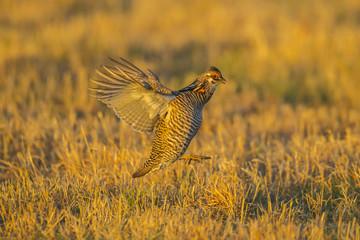 USA, Nebraska, Sand Hills. Greater prairie chicken male taking flight. Credit as: Cathy & Gordon Illg / Jaynes Gallery / DanitaDelimont.com