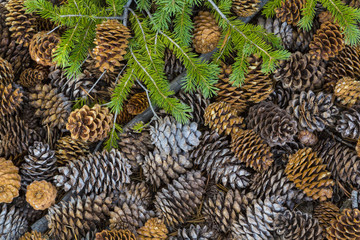 USA, Nevada, Great Basin National Park. Pine cones and Douglas fir bough. Credit as: Don Paulson / Jaynes Gallery / DanitaDelimont.com