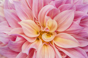 USA, Oregon, Portland. Pink dahlia close-up. Credit as: Kathleen Clemons / Jaynes Gallery / DanitaDelimont.com