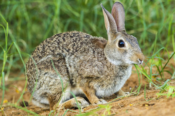 USA, Texas, Hidalgo County. Cottontail rabbit eating. Credit as: Cathy & Gordon Illg / Jaynes Gallery / DanitaDelimont.com