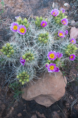 USA, Utah, Arches National Park. Whipple's Fishhook Cactus (Sclerocactus whipplei) blooming and with buds