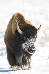 USA, Wyoming, Grand Teton National Park, Bison in snow on Antelope Flats