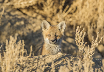 USA, Wyoming, Lincoln County, red fox kit peers from it's den in the desert.