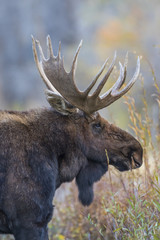 USA, Wyoming, Grand Teton National Park, bull moose poses for a portrait amongst willows in the fall.