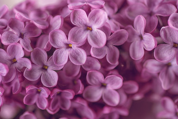 detail photography of purple lilac, macro, spring blooming plant