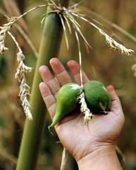 -PHOTO TAKEN 24APR05- An Indian man shows green bamboo fruits, each a little bigger than a golf ball..