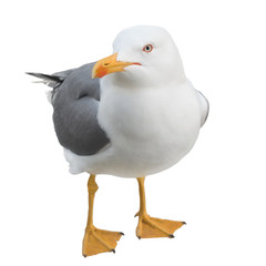Seagull looking at camera, isolated