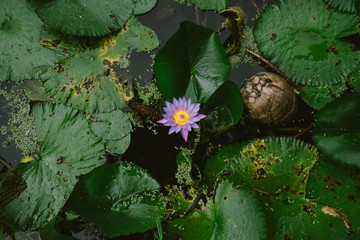 Purple water lily flower and leaves floating on water
