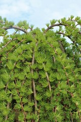 Pendent larch treetop - green spring waterfall