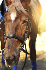 Head shot of a beautiful brown horse wearing bridle in the pinfold