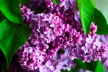 Beautiful bouquets of cut bunches of branches of blooming lilacs as a holiday decoration