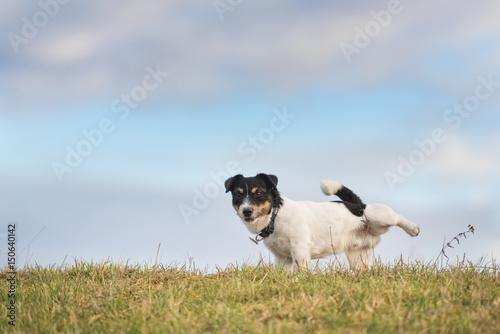 Hund Hebt Bein