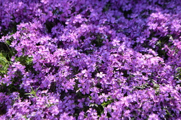 Flowers phlox's