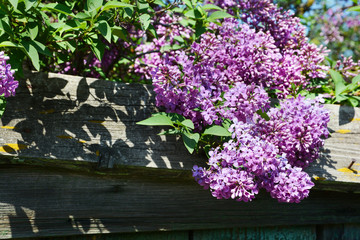 Purple Lilacs. Purple lilac bush blooming in spring day. Branch with spring lilac flowers