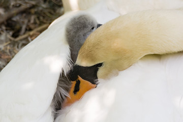 Mute swan (Cygnus olor) cygnet on pen. Young chick nestled in feathers on back of mother on nest